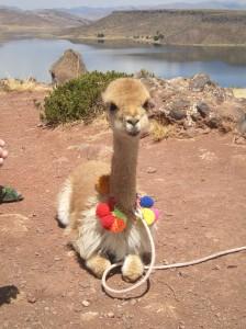 Vicuña in Peru