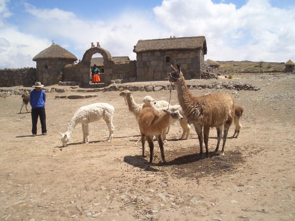 Domesticated alpacas in Peru