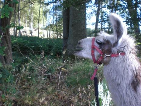 Louis the llama