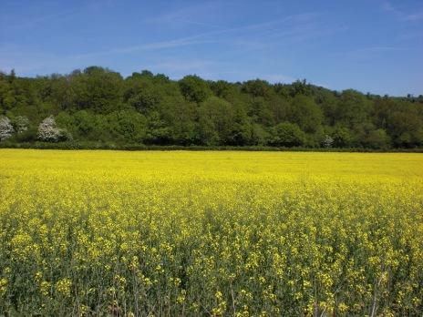 Beautiful fields in Shere