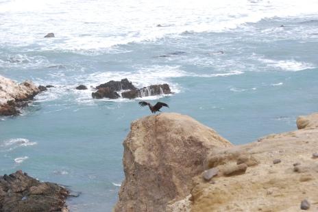 Condor taking off